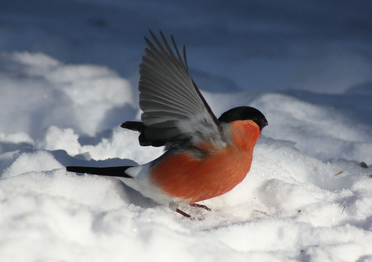 Lintu lumihangessa